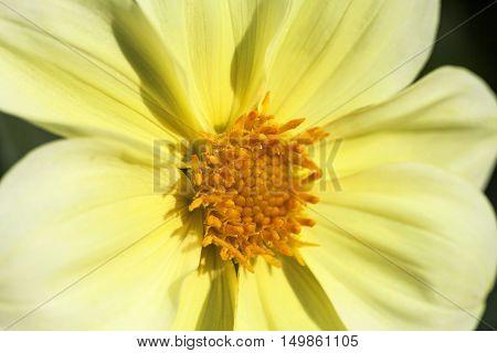 Autumn flower of yellow Zinnia elegans close up