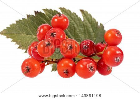 Red fruits of rowan berry isolated on white background.