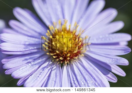 Single autumn flower of lilac aster in garden close up