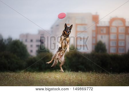 Dog catching disk in jump pet playing outdoors in a park. flying disk