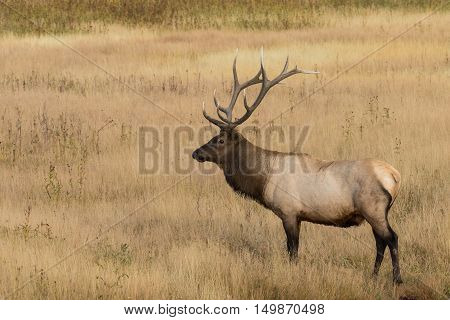 a bull elk standing in a meadow during the fall rut