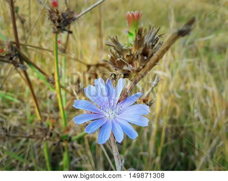 Close up of a blue chicory flower with a bee collecting nectar in a autumn field