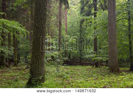 Old oak trees moss wrapped and old natural deciduous stand in background, Bialowieza Forest, Poland, Europe