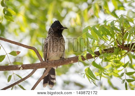A very close shot of a Red-vented bulbul in a garden in Bahrain