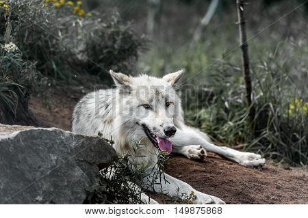 Wild gray wolf sit in the fields in Quebec Canada