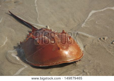 Close up of a Horseshoe Crab at Cumberland Island National Seashore Georgia