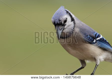Close up of a Blue Jay Perched on a Limb