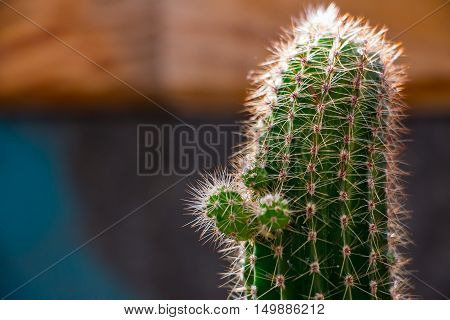 Small cactus sprouts. Sprouts growing up on the cactus