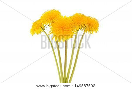 Dandelion flowers spring, bright, head isolated on white