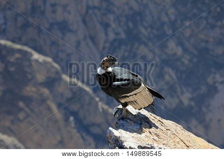 A nice male adult condor sitting close on a rock. Colca canyon - one of the deepest canyons in the world, near the city of Arequipa in Peru.