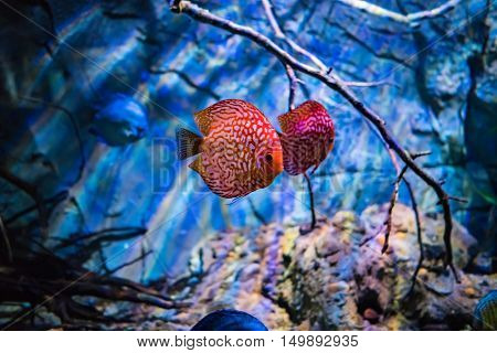 Symphysodon discus in an aquarium on a blue background