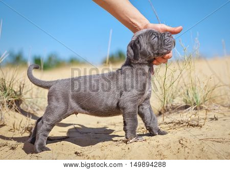 Beautiful young puppy italian mastiff cane corso (1 month) on the sand. Side view. The owner stroking her dog.