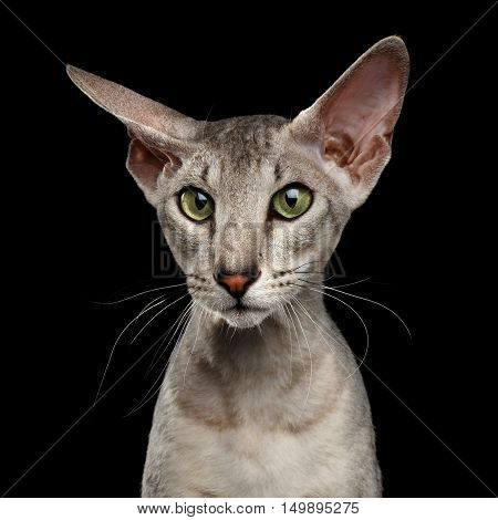 Close-up Portrait of Peterbald Sphynx Cat Curiosity Ear and Looks on Isolated Black background