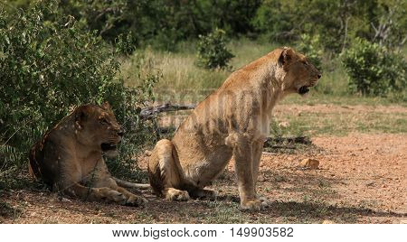 Two Lionesses at The Kruger national Park South Africa
