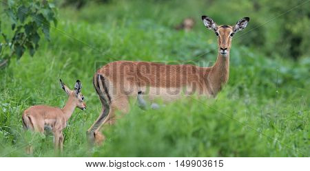 Female Impala with Calf at The Kruger National Park South Africa