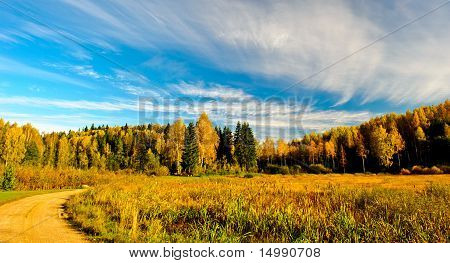 Birches and evergreens