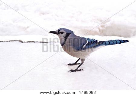 Blue Jay79