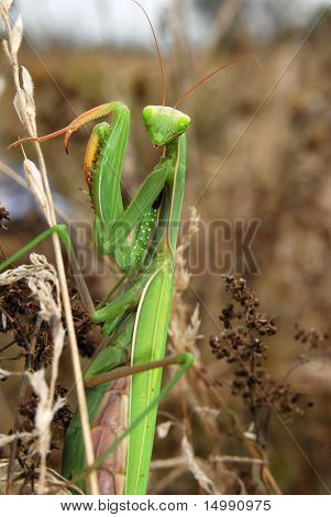 Portrait of a Mantis religiosa