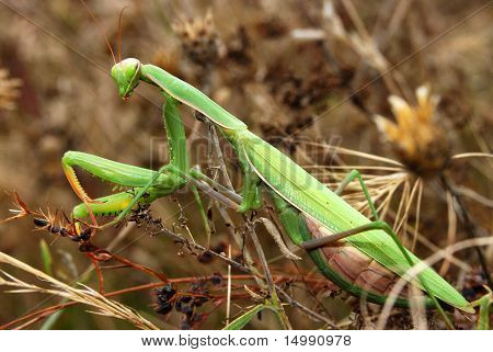 Female Mantis religiosa on autumn grasses