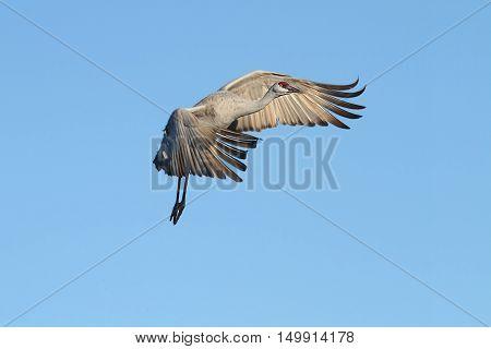 Sandhill Crane (Grus canadensis) in flight at Bosque del Apache in New Mexico