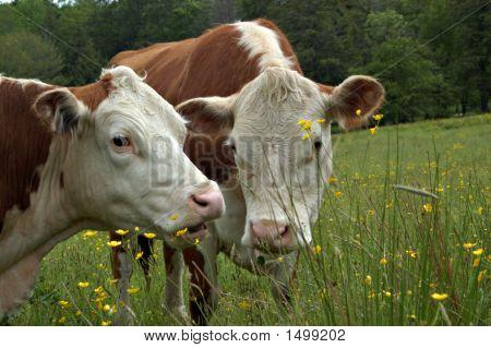 Cow Gossip51