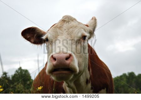 Cow Humor21