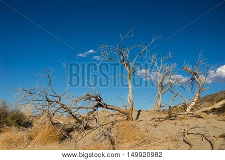 Cluster Of Dead Desert Trees