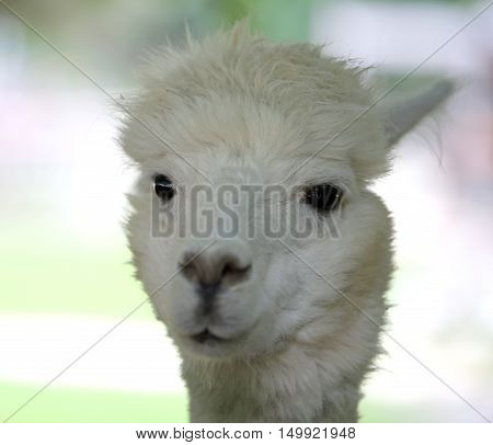 Muzzle Of A Young Llama With White Fur