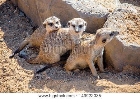 meerkats group hiding behind the rocks on the sand