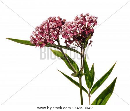 Swamp Milkweed Wildflower