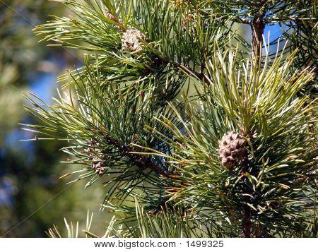 Fir-Tree #2