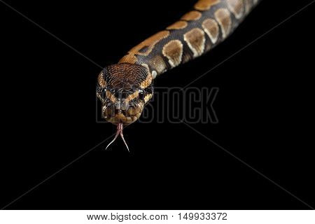 Close-up Ball or Royal python Snake with tongue on Isolated black background