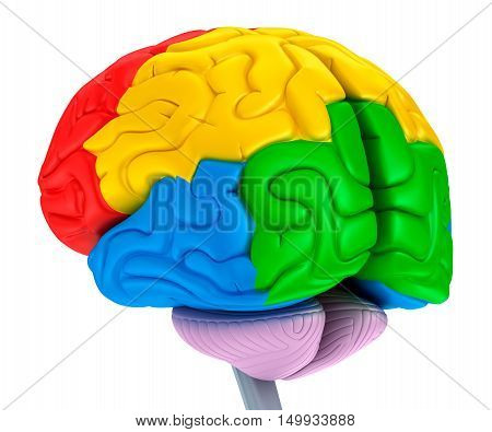 Brain lobes in different colors. Isolated on white.