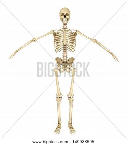 Human skeleton isolated Medically accurate 3d illustration .