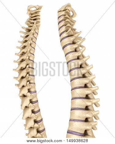 Spine anatomy 3d render, over white, 3D render