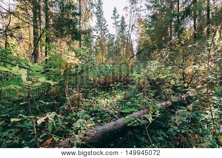 Deep autumn forest with warm sunlight illuminating green foliage. Wilderness thicket woods landscape with rich vegetation