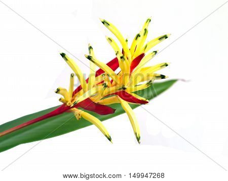 closeup shot of Heliconia Lady Di Heliconia Parakeet Flower or Heliconia psittacorum 'Lady Di' isolated on white background