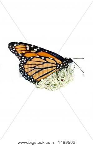 Monarch Adult62 On White