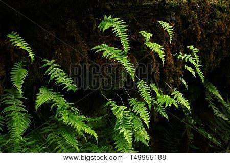 a picture of an exterior Pacific Northwest forest with maple  tree with ferns