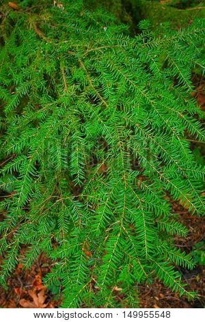 a picture of an exterior Pacific Northwest forest with a Pacific  yew tree leaves