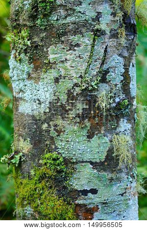 a picture of an exterior Pacific Northwest mossy and lichen Alder tree trunk