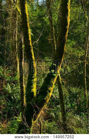 a picture of an exterior Pacific Northwest forest with a mossy Alder tree in winter