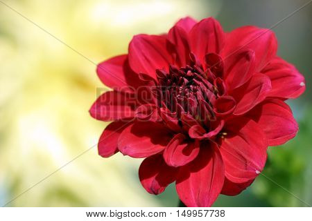 Beautiful Flower Dahlia