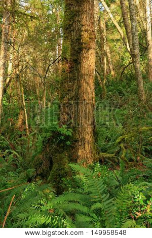 a picture of an exterior Pacific Northwest forest with a second growth Hemlock tree
