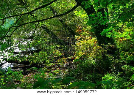 a picture of an exterior Pacific Northwest forest with Vine maple trees in spring