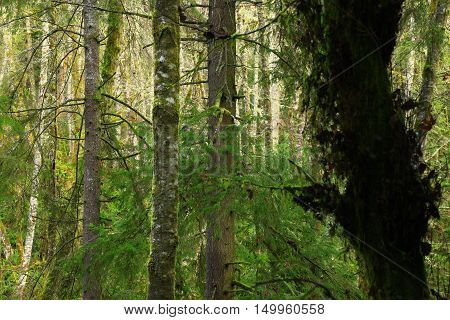 a picture of an exterior Pacific Northwest forest in winter