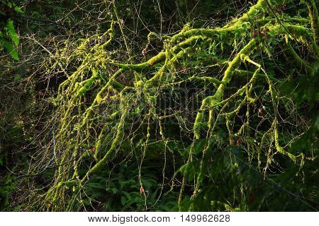 a picture of an exterior Pacific Northwest forest with mossy  hazelnut tree in winter