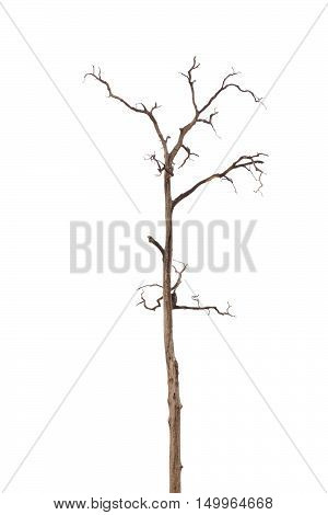 Dead Tree without Leaves  in the big garden