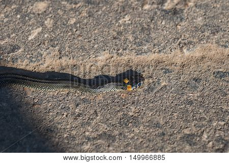 Snake Natrix crawling on pavement sticks out his tongue, leaving a shadow