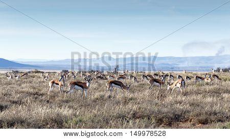 Field Of Springboks Grazing In The Mountain Zebra National Park
